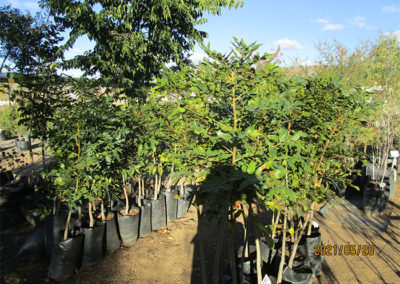 Various Trees For Sale